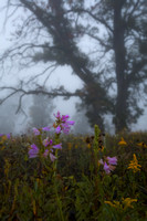 Foggy morning prairie sunrise on delicate wildflowers. IL.