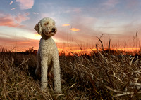 Golden Doddle dog stands tall at sunset.IL.