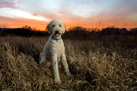 A Golden doodle stands forward in gorgeous sunset. IL