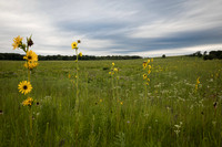 Compass plants at sunset in prairie field, Illinois.