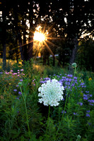 Sunburst illuminating a queen anne's lace flower at sunrise. SHo