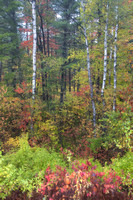 Soft fall colors and birch trees after rain. WI